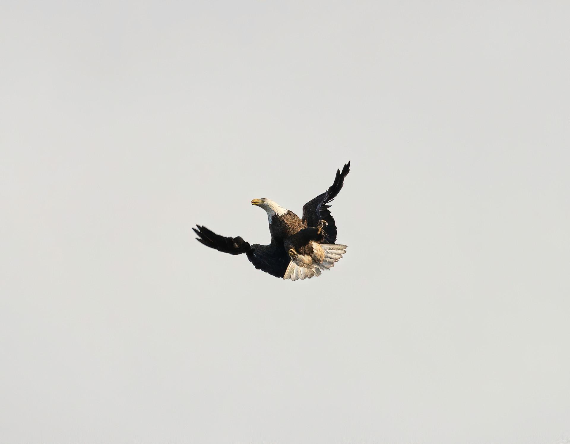 Bald Eagle Playing