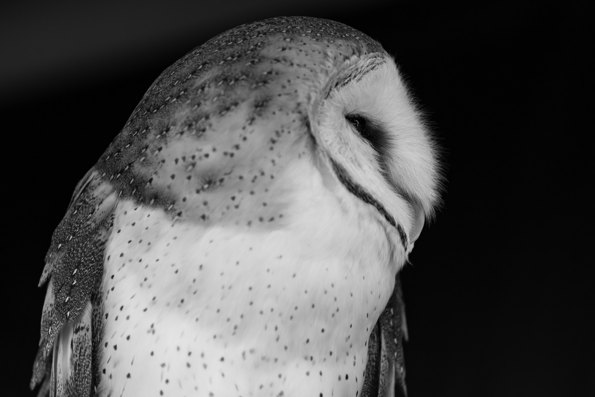 Barn Owl Monochrome