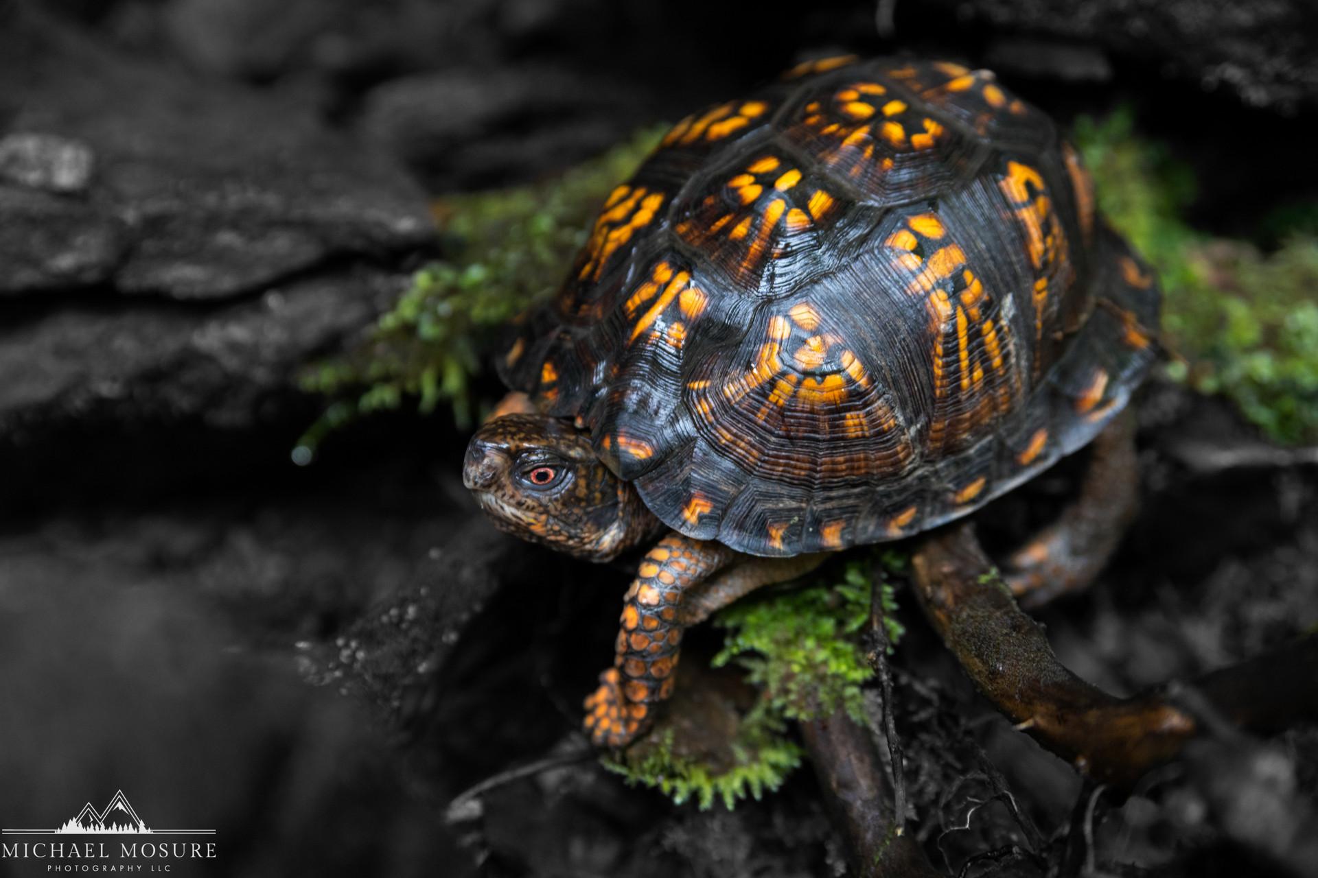 West VA Turtle