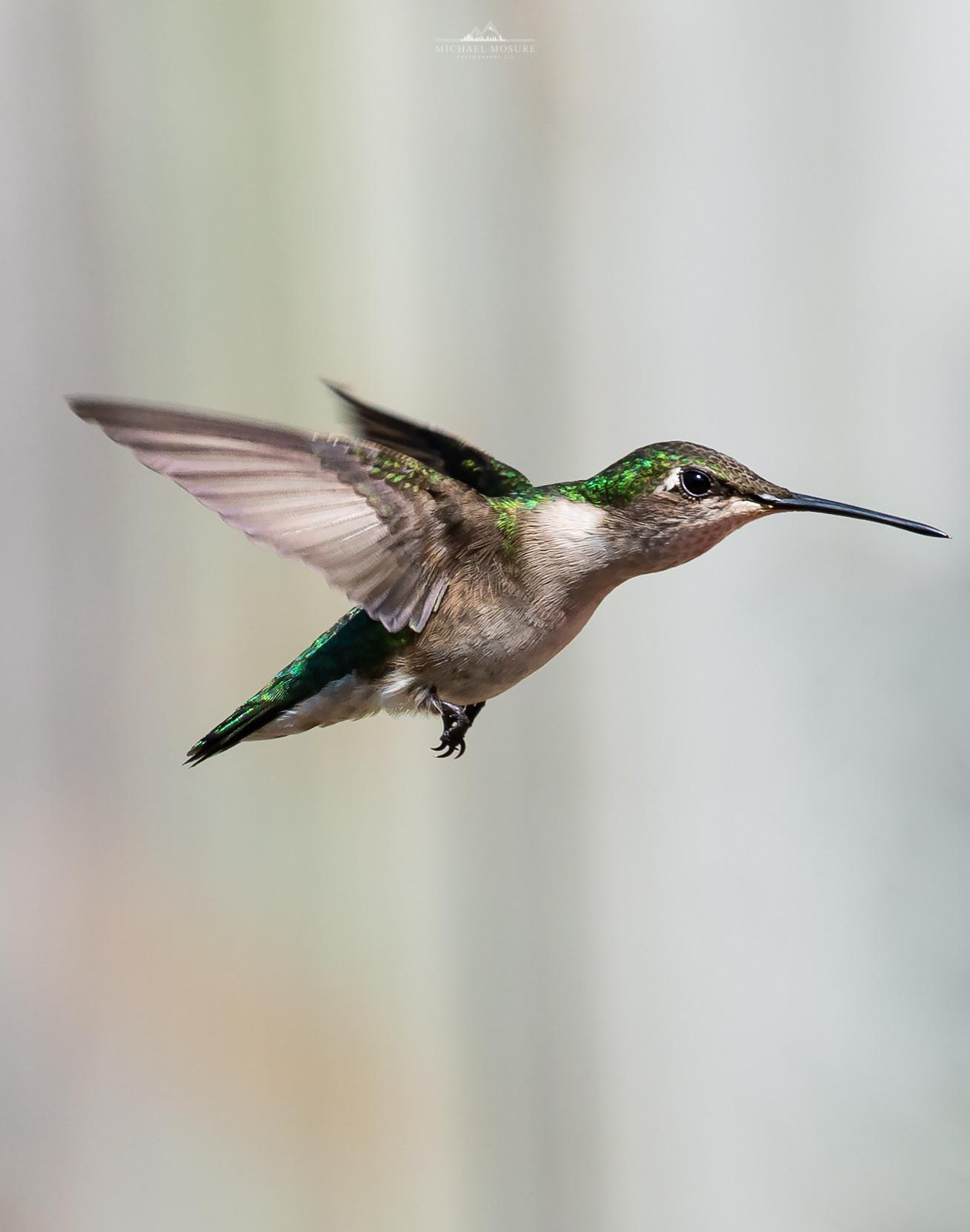 Ruby Throated Female Hummingbird