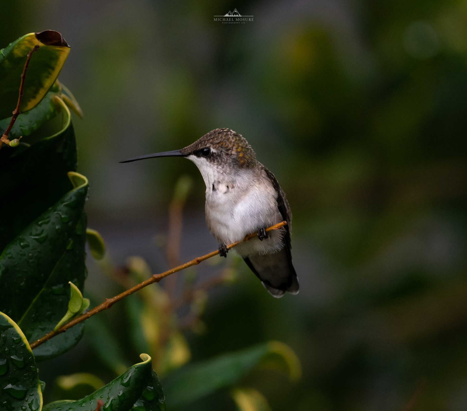 Perched Humminbird