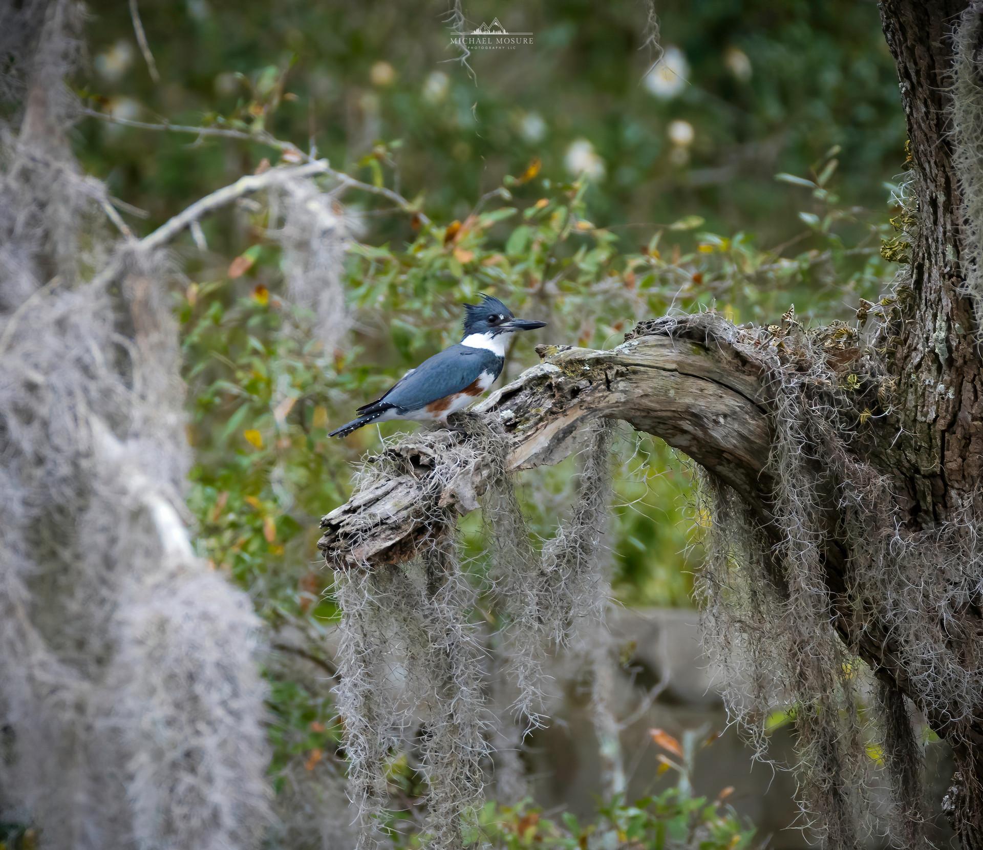 Mossy Kingfisher