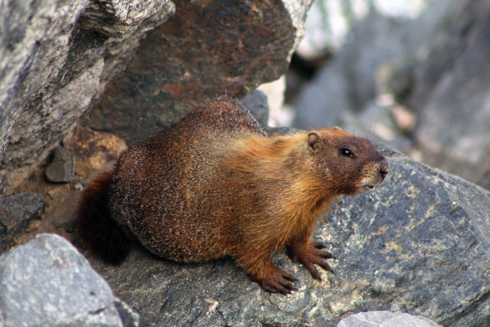 Breckenridge Marmot