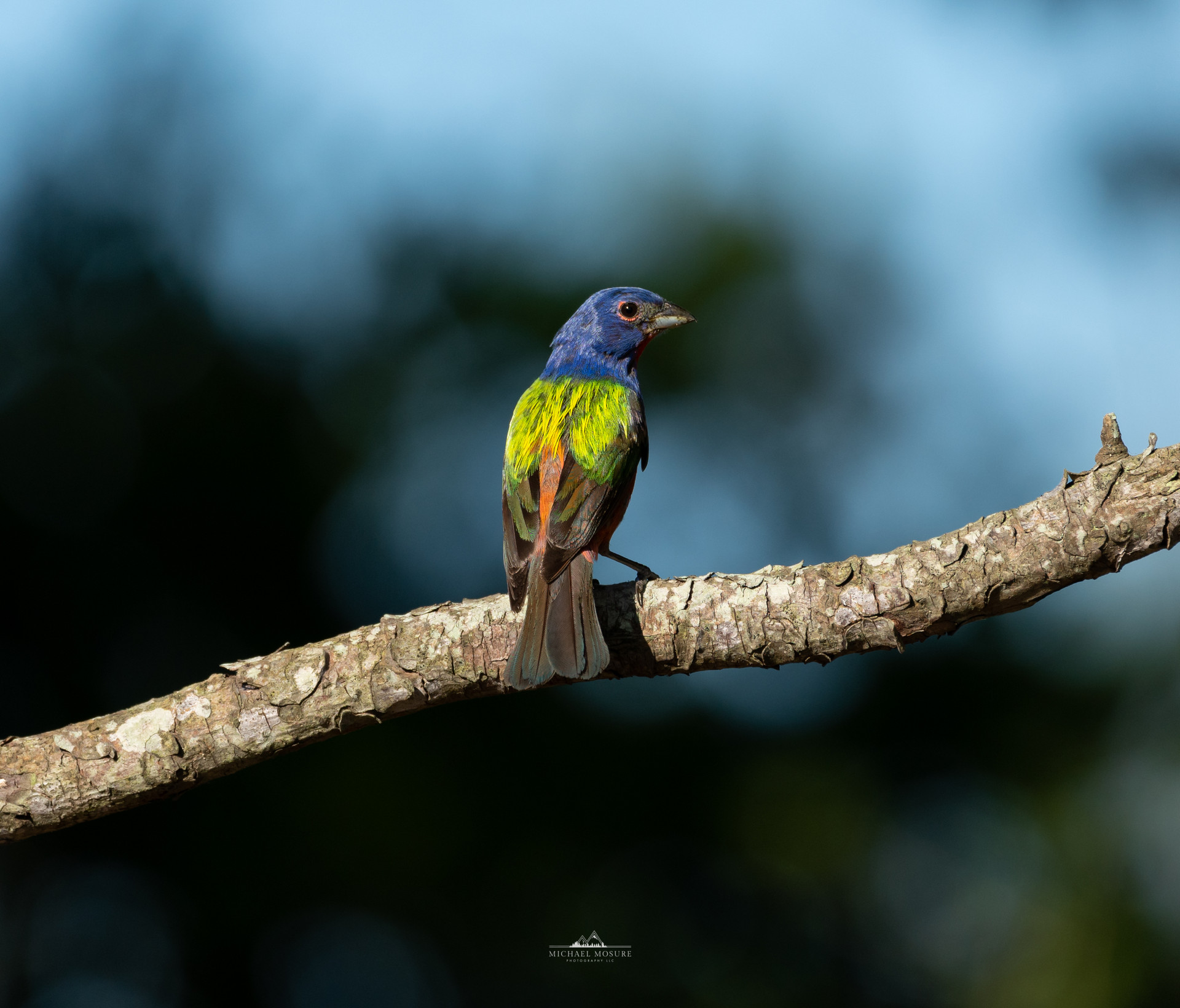 Painted Bunting Back