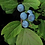 Thumbnail: Blue Cohosh