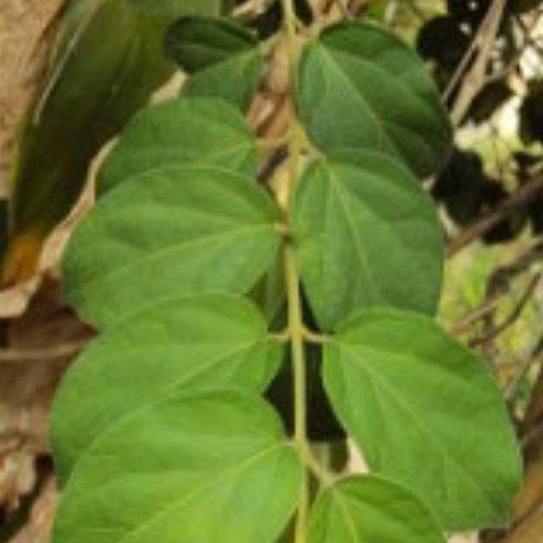 Gymnema Leaf Extract