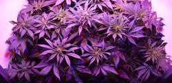 default_Photo-by-Purple-cannabis-plants-C