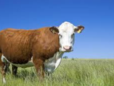 hereford cow.PNG