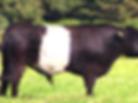 BG cow.PNG