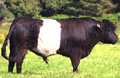 This Week In Belted Galloway Class