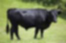 dexter cow.PNG