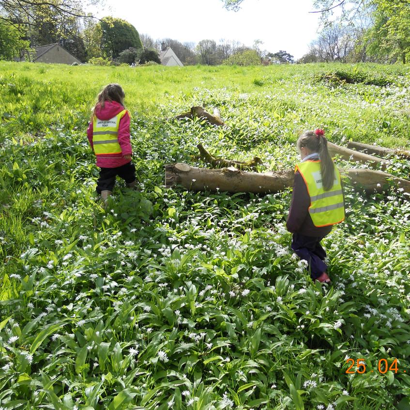 investigating wild garlic