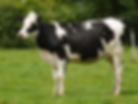 friesian cow.PNG