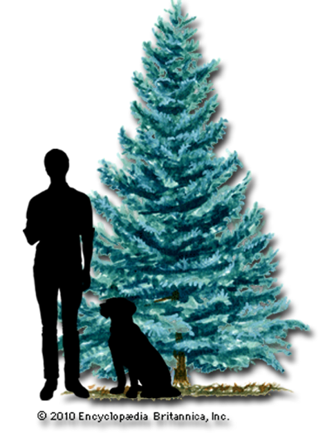 Blue Spruce 10' Tall or Less