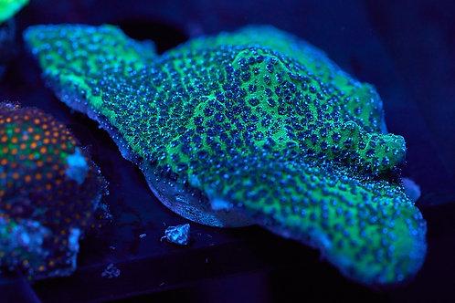Green / Blue Montipora