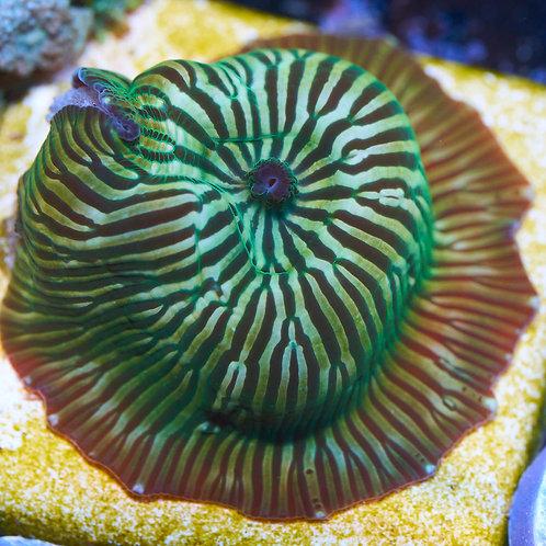 GreenTiger Discoma Mushroom