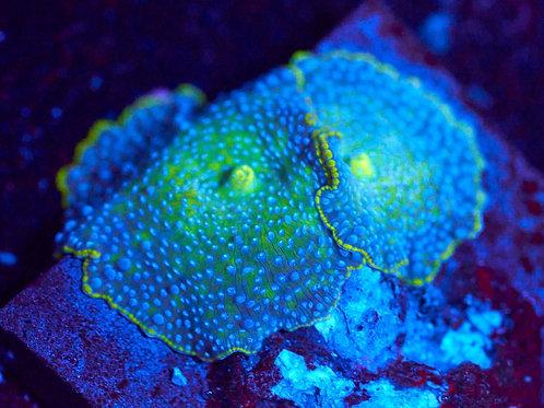 Turquoise Blue Spot Discoma Mushroom - Two'fer