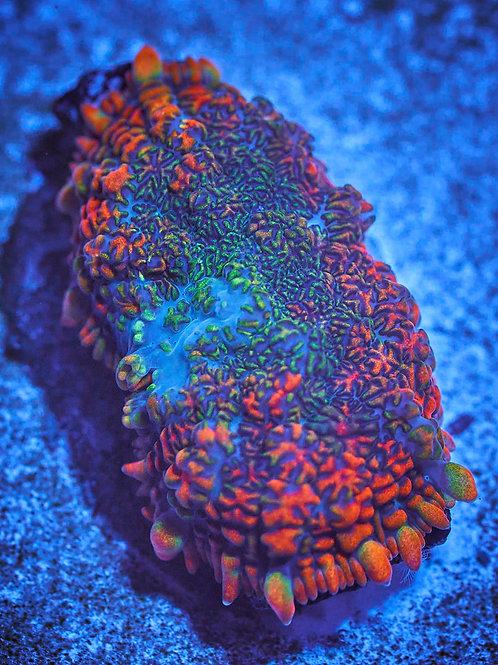 Rainbow Mosaic Rhodactis Mushroom
