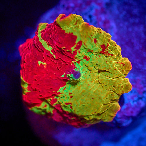 Eclectus Jawbreaker Mushroom 1