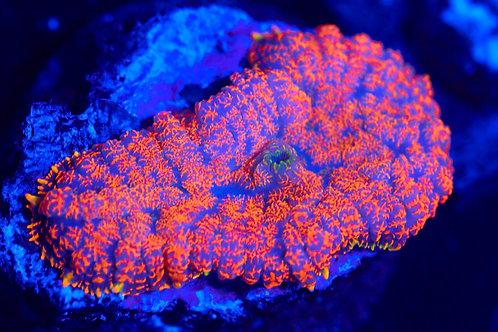 Orange Mosaic Rhodactis Mushroom