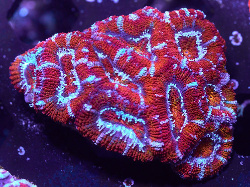Marmalade Rainbow Acan Lord colony 2