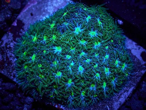 Green Leptastrea