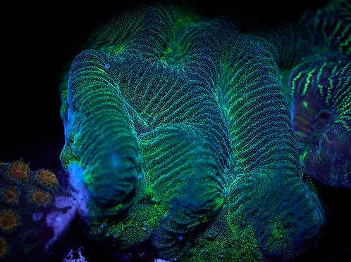 Green Illusion Favites