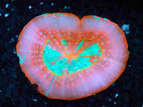 Peach & Green Scoly Australia