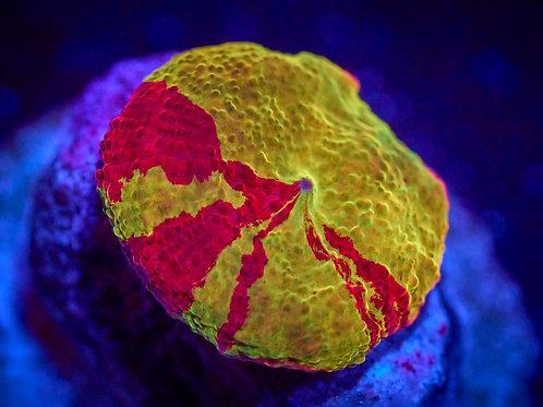 Eclectus Jawbreaker Mushroom 2
