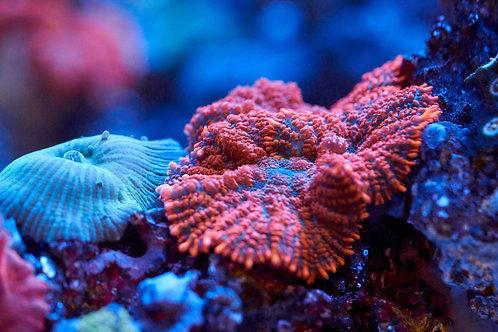 Orange/Red Superman Mushroom