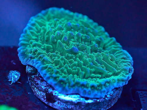 Green Montipora