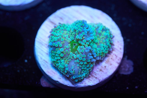 Ricordea Green Mushroom 2