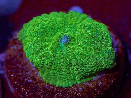Greenskeeper Rhodactis Mushroom
