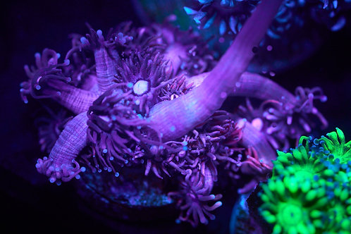 Red/Pink Goniopora