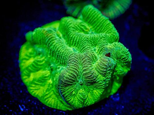 Nuclear Green Platygyre
