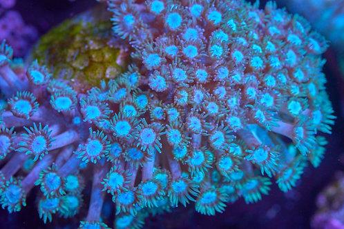 Blue Goniopora Flower Pot Coral