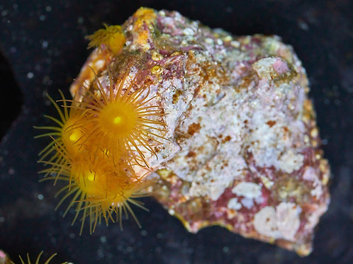 Yellow Polyps Coral
