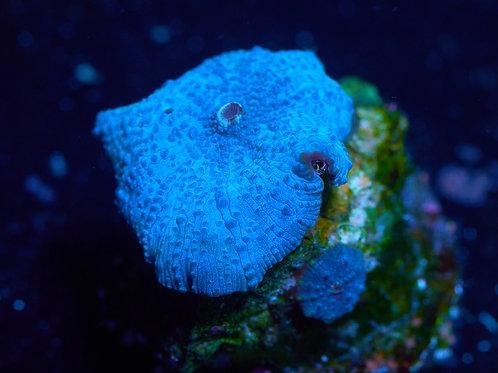 Discosoma Light Blue Mushroom