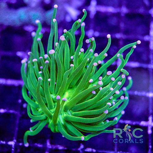 neon Green Lavendar tip Torch 1H