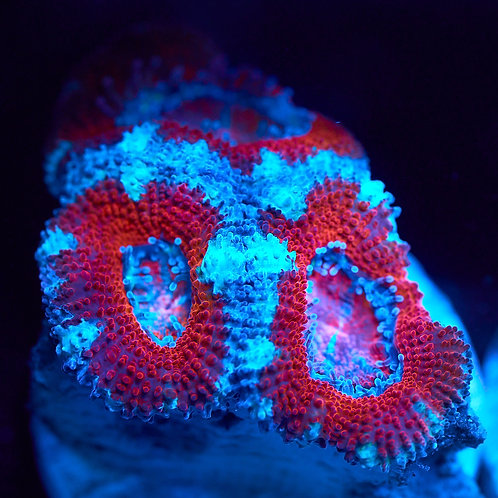 Acan Lord Frag