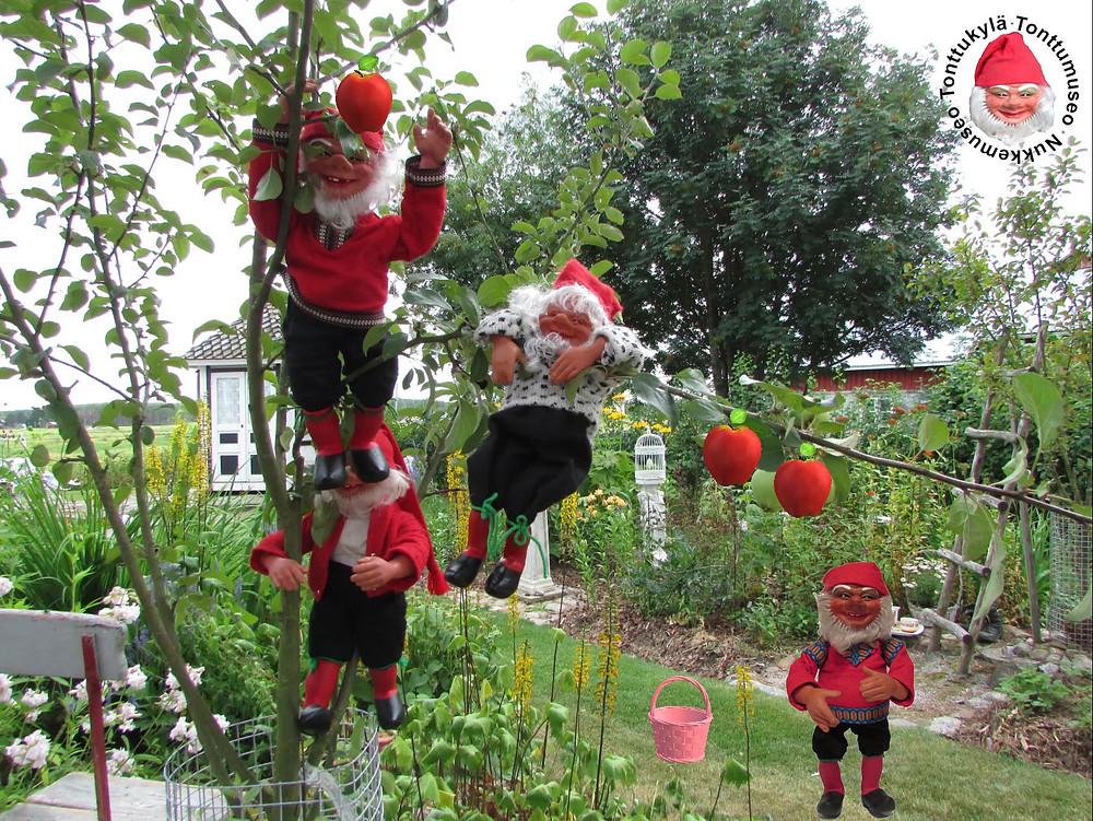 Vanha puutarha, huvimaja, omenapuu, perheomenapuu, syksyinen puutarha, omenakori, syysaskareet