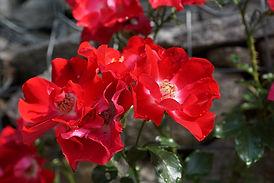 rose-hip-809340_1920.jpg
