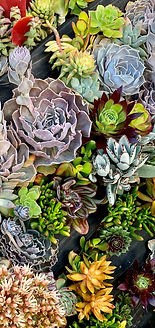closeup succulents GB.jpg