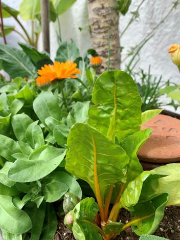 Garden Veggie mix with Olla