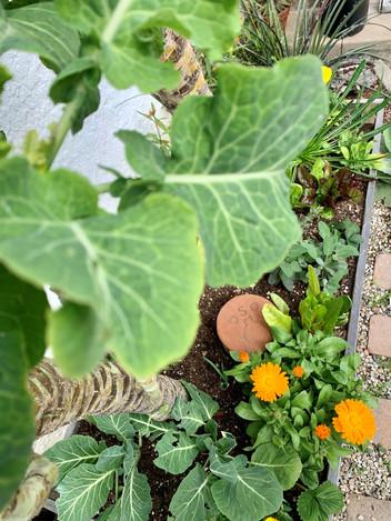 Garden Veggie Mix_Raised Bed