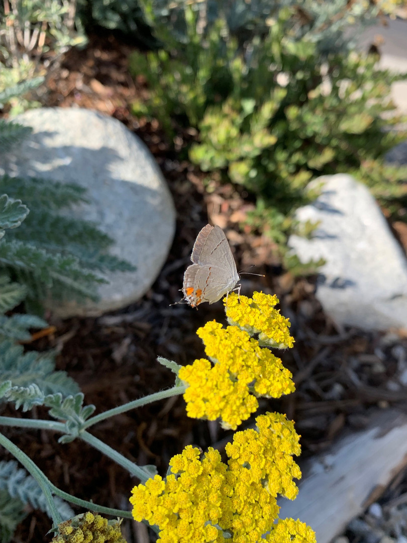 Butterfly visits Moonshine Yarrow plant