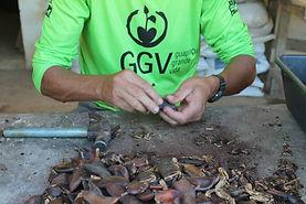 Mudas dos viveiros da Reserva Ecológica de Guapiaçu em Cachoeiras de Macacu no Rio de Janeiro