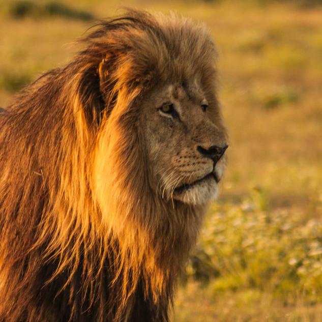 Wildlife_Lion[1].jpg