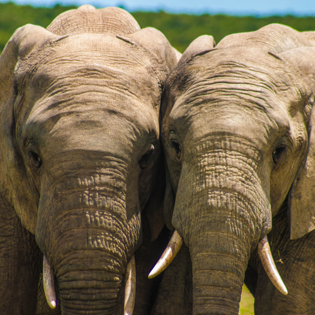 Wildlife_Elephants[1].jpg