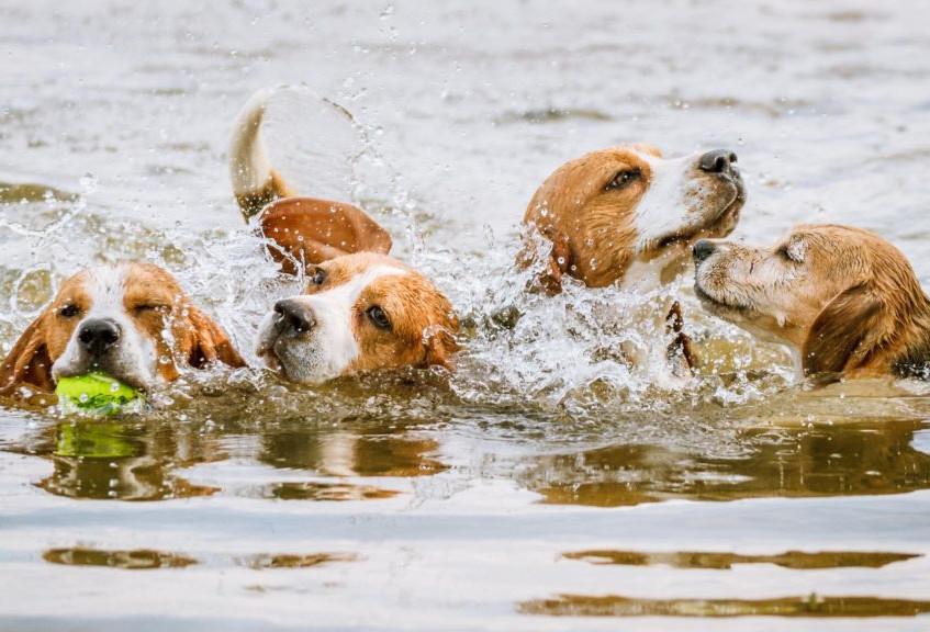 IMG_8942-Beagles-Splashing-Walkhaven-Low